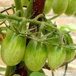 mymotto 50 Pcs/Sac Coloré Cerise Tomate Graines Légumes Fruits en Pot Graines Accueil Jardin (# 1) de la marque mymotto image 2 produit